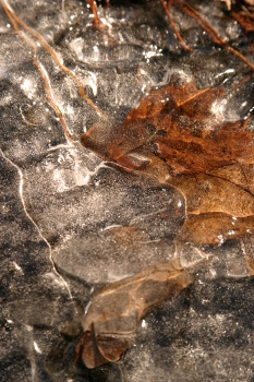 Leaf in a frozen puddle.  Taken in the Petit Jean Park, Arkansas, USA.